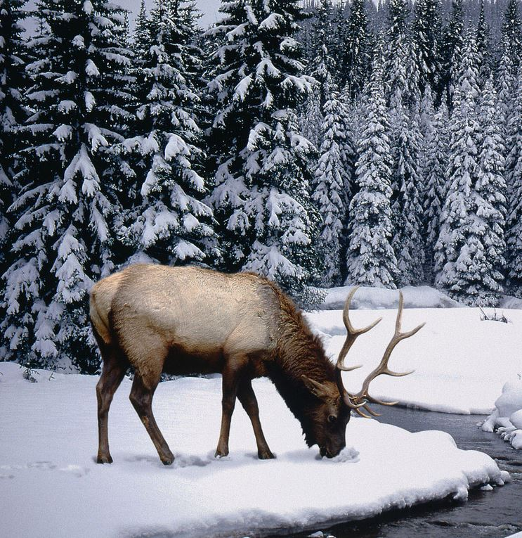 Elk Looking for Food in Snow Canada