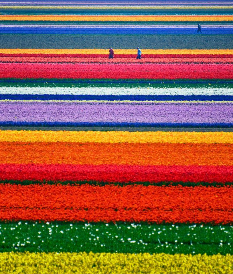 Tulip Fields in Alkmaar